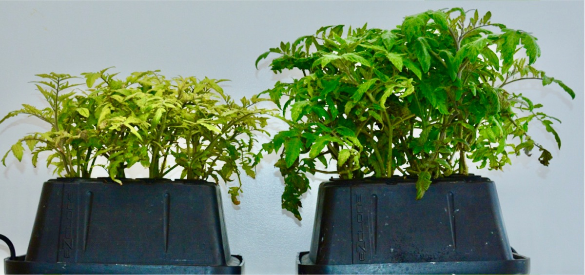 Tomato Plant 8 Weeks - Left Plant Control, Right Plant Grown With VQe MaxStrip
