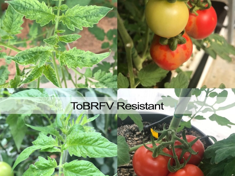 Tomato Pest/ Virus Control - AgTech/ AgriTech and Agriculture